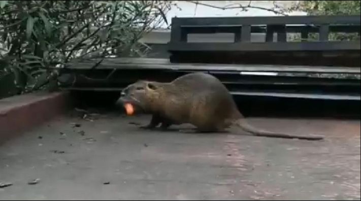 Video: apareció un roedor gigante dando vueltas por La Boca