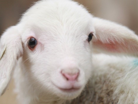 Why do we eat lamb on Easter?